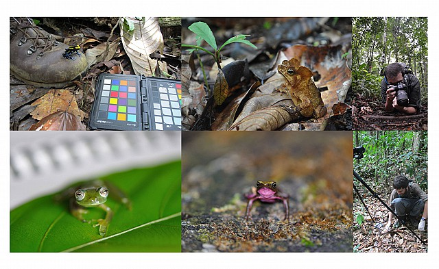 Top (left-right): Dendrobates tinctorius, Rhinella margaritifera, Kostas photographing a camouflaged frog. Bottom (left-right): Teratohyla midas, Atelopus flavescens, Jim photographing the leaf litter background.